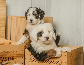 Bernedoodles Breeder Tri Color Bernadoodle Puppies For